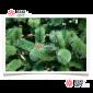 Сосна Рублевская цвет зеленый (леска)  от 3м-8м