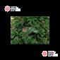 Ель Империал с шишками цвет зеленый (пленка) от 3 - 8м